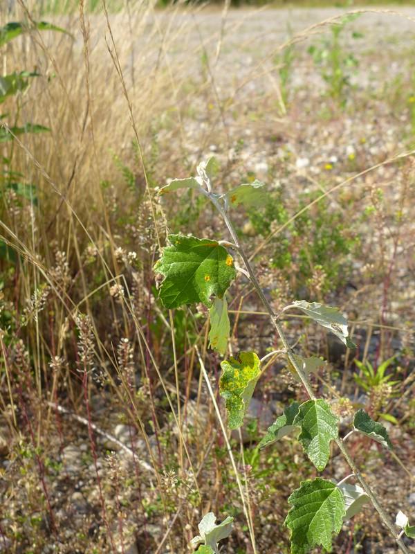Melampsora rostrupii_Populus alba_Jkruse