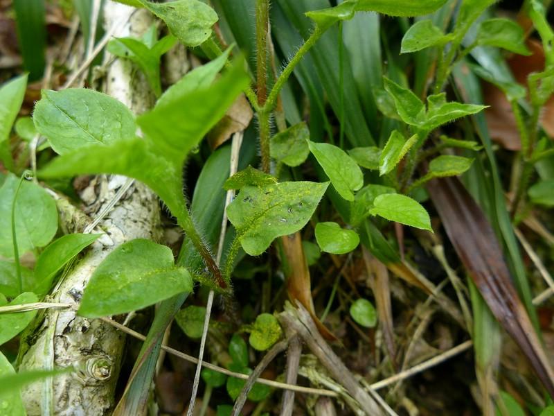 Melampsorella caryophyllacearum_Stellaria nemorum_JKruse (1)