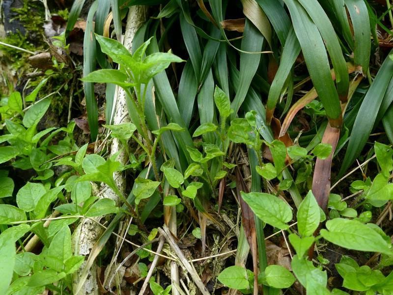 Melampsorella caryophyllacearum_Stellaria nemorum_JKruse