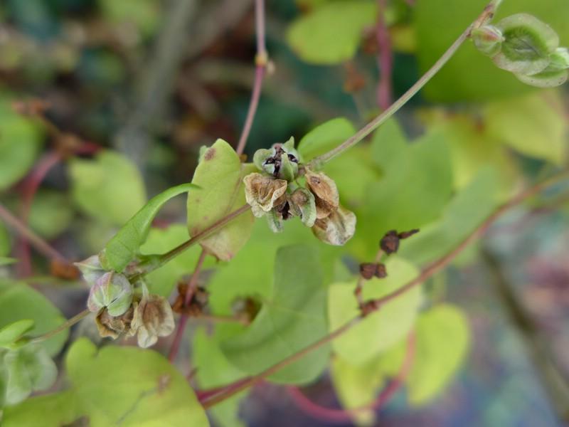 Microbotryum anomalum_Fallopia dumetorum_JKruse (3)