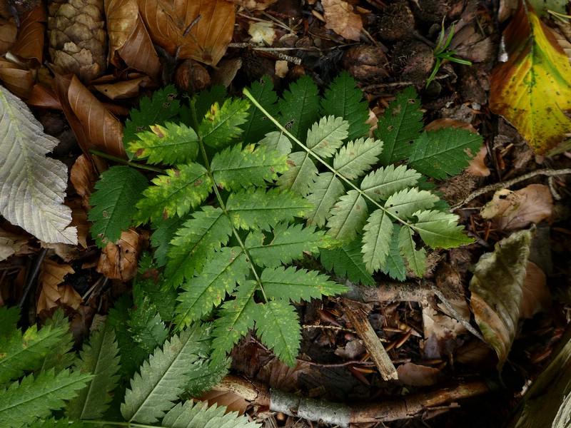 Ochropsora aria_Sorbus aucuparia_JKrusee (1)