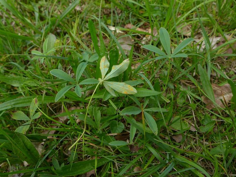 Phragmidium fragariae_Potentilla alba_JKruse (1)