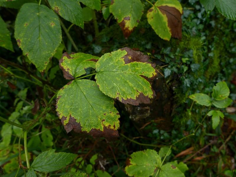 Phragmidium rubi-idaei_Rubus ideaus_JKruse (4)