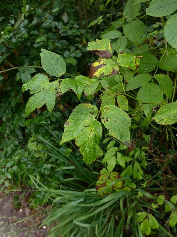 Phragmidium rubi-idaei_Rubus ideaus_JKruse