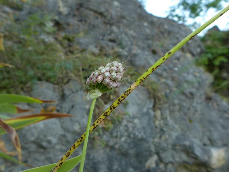 Puccinia allii_Allium sphaerocephalon_JKruse