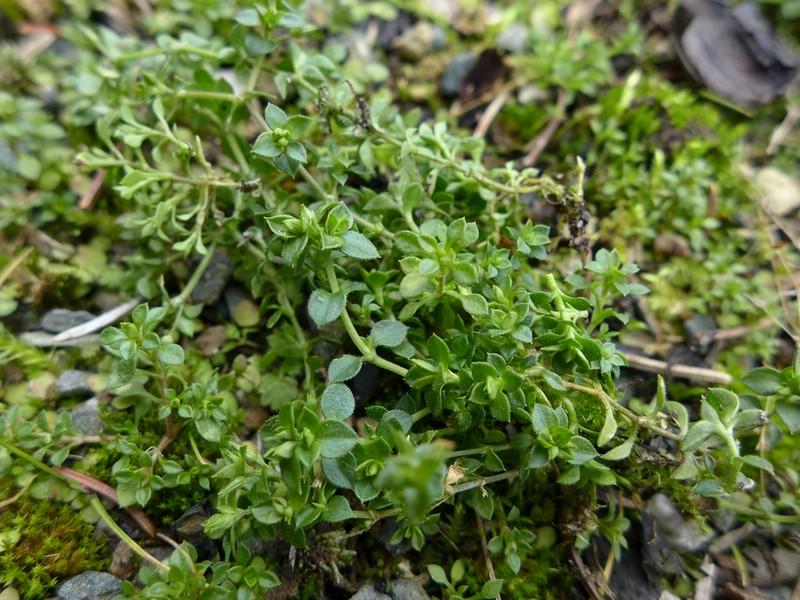 Puccinia arenariae_Arenaria serpyllifolia_Jkruse