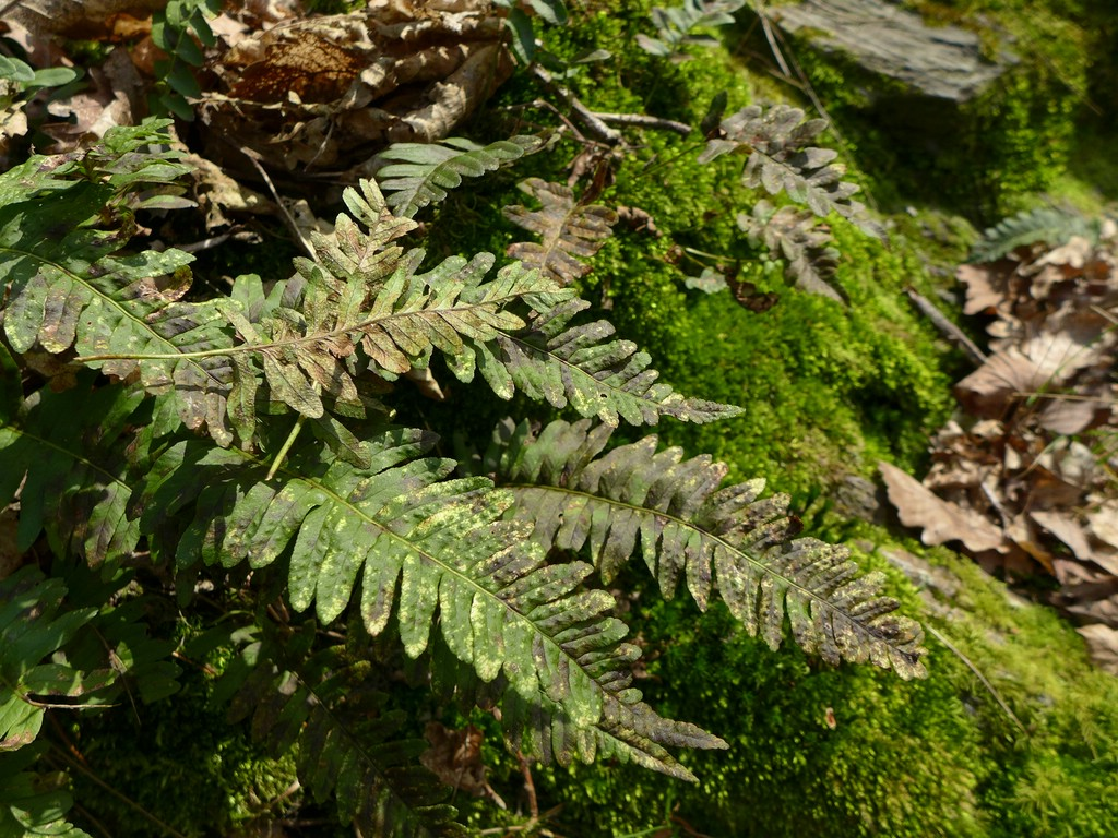 Milesina dieteliana_Polypodium vulgare_JKruse (1)