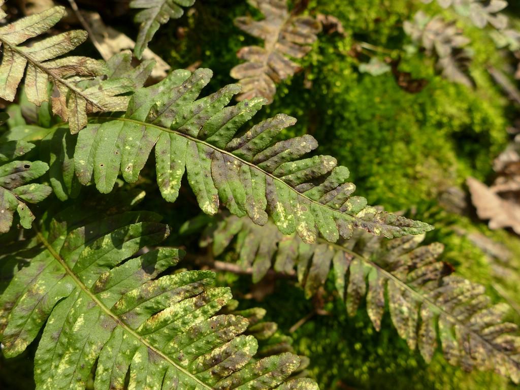 Milesina dieteliana_Polypodium vulgare_JKruse (1a)