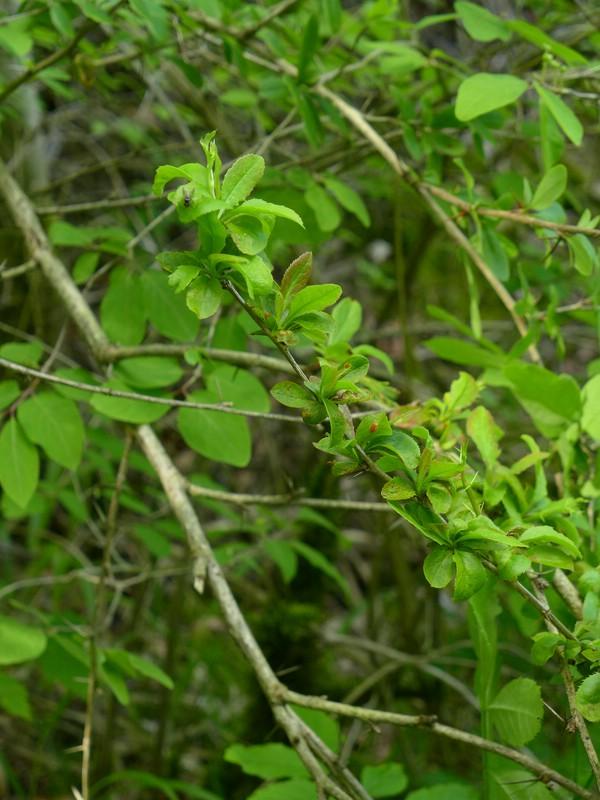 Puccinia arrhenatheri_Berberis vulgaris_JKruse (2)