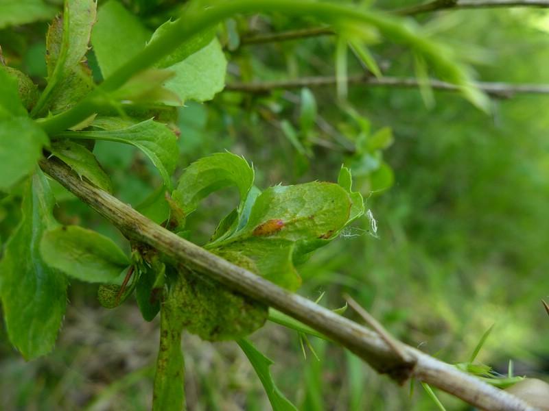 Puccinia arrhenatheri_Berberis vulgaris_JKruse (4)