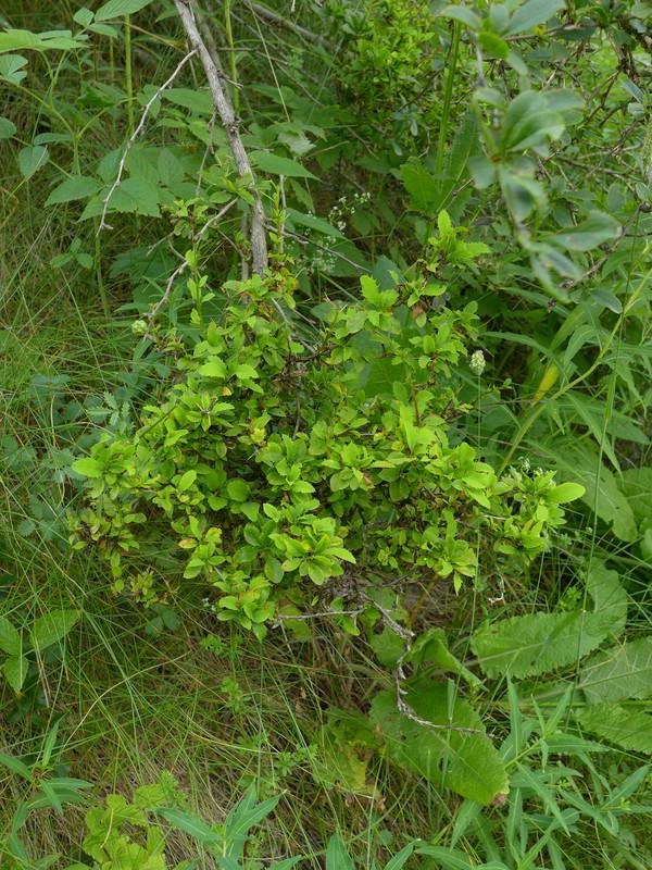 Puccinia arrhenatheri_Berberis vulgaris_JKruse