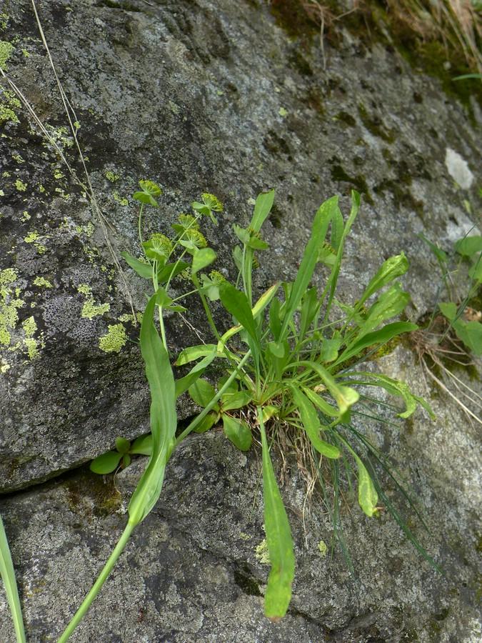 Puccinia bupleuri-stellati_Bupleurum stellatum_JKruse (1)