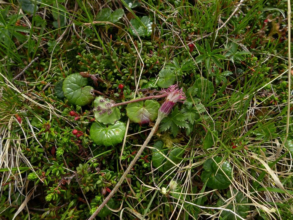 Puccinia conglomerata_Homogyne alpina_JKruse (1)