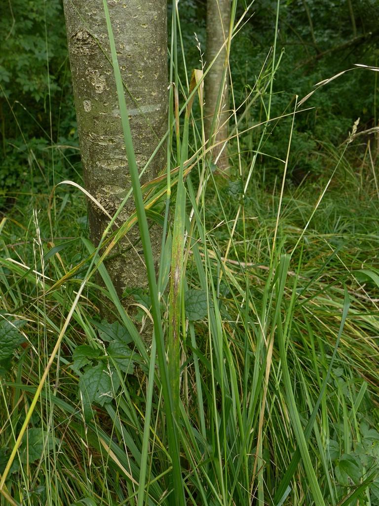 Puccinia coronata_Calamagrostis epigejos_JKruse (1)