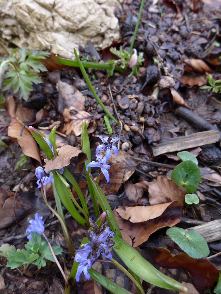 Antherospora scillae_Scilla bifolia_JKruse (1)