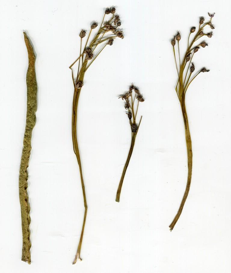 AntherosporaVindobonensis_Scilla vindobonense_JKruse (1)