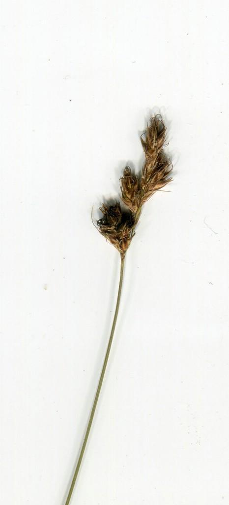 Anthracoidea arenaria_Carex praecox_JKruse (3)
