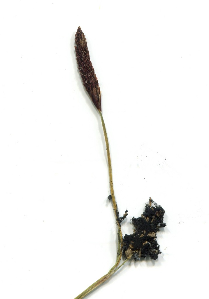 Anthracoidea pilosae_Carex pilosa_JKruse (2)