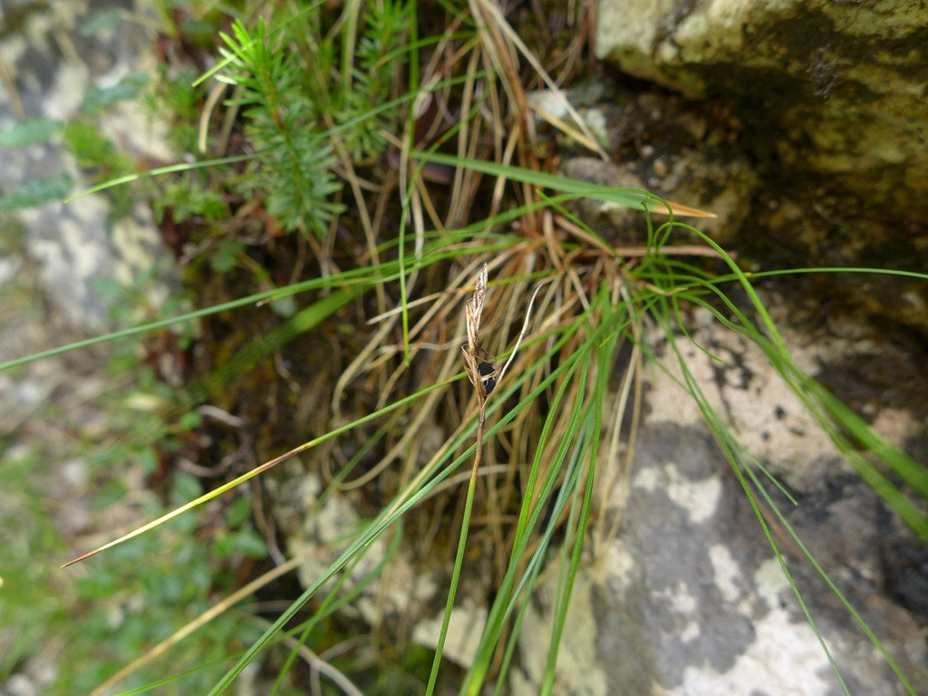 Anthracoidea sempervirentis_Carex mucronata_JKruse (1)