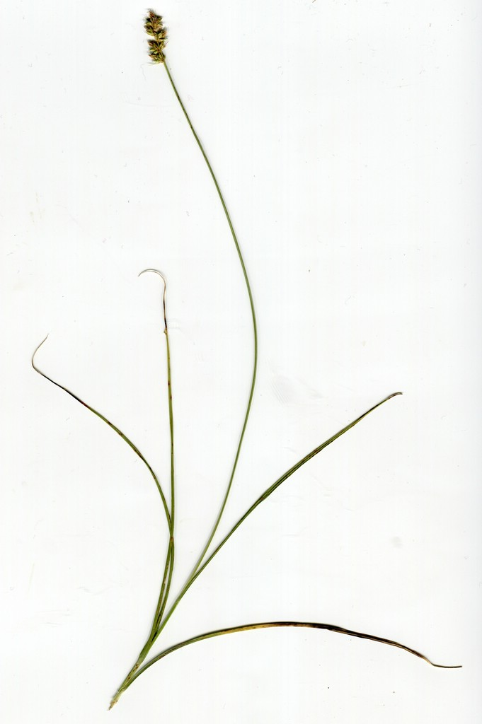 Anthracoidea vankyi_Carex muricata_JKruse (1)