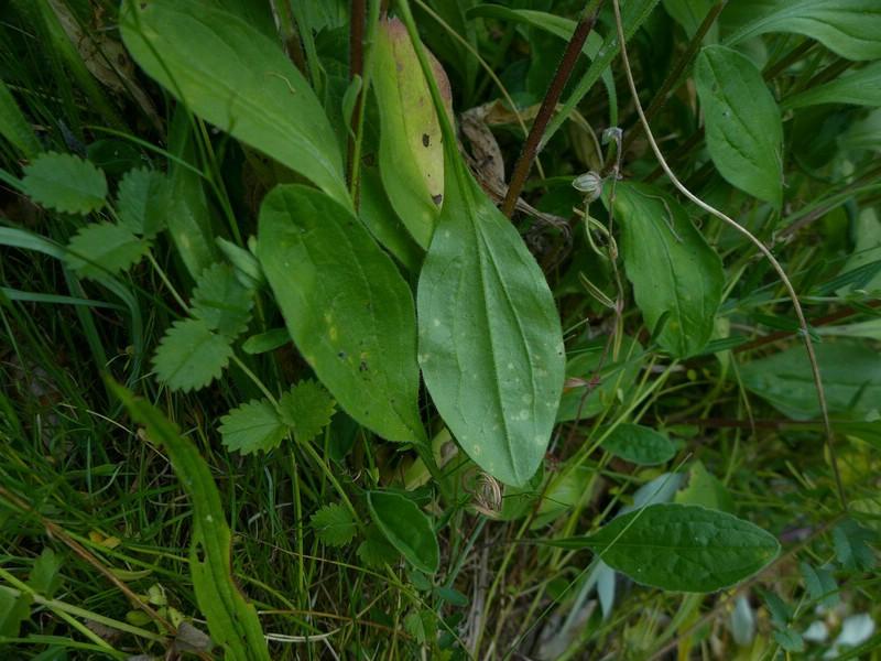 Entyloma bellidiastri_Aster amellus_JKruse (1)