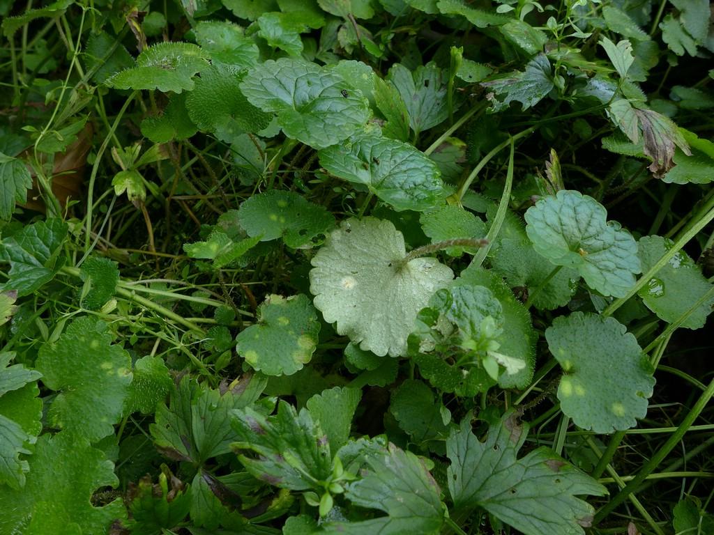 Entyloma chrysosplenii_Chrysosplenium alternifolium_JKruse (1)
