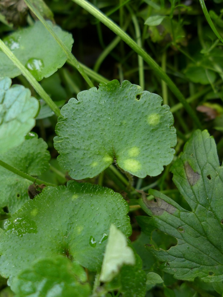 Entyloma chrysosplenii_Chrysosplenium alternifolium_JKruse (2a)
