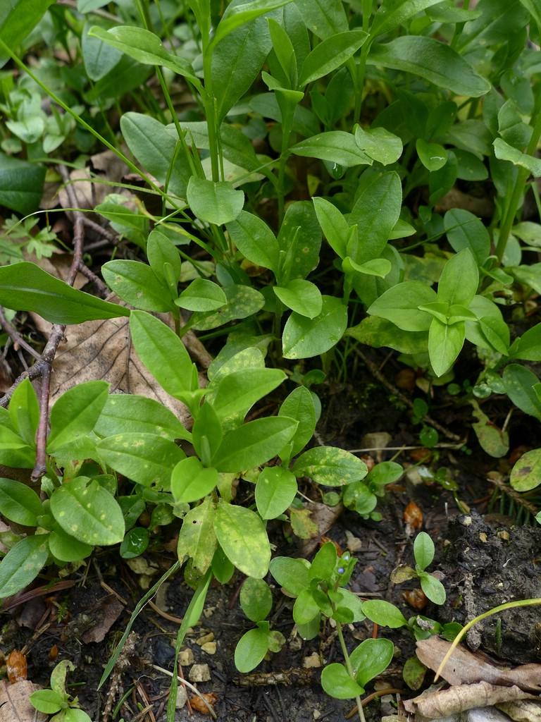 Entyloma fergussonii_Myosotis nemorosa_JKruse (1)