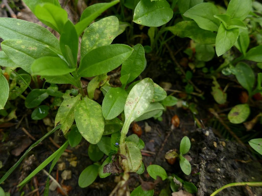 Entyloma fergussonii_Myosotis nemorosa_JKruse (2)