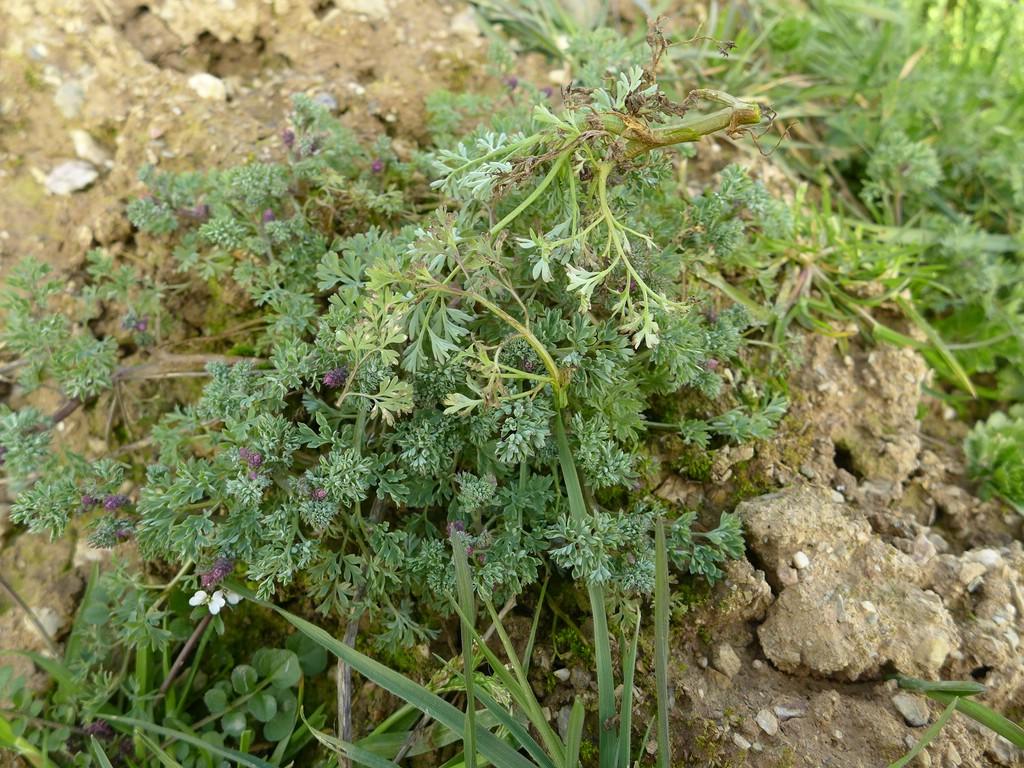 Entyloma fumariae_Fumaria spec._JKruse (1)