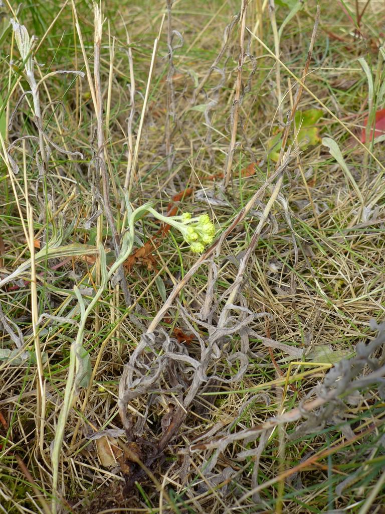 Entyloma magnusii_Helichrysum arenarium_JKruse (1)