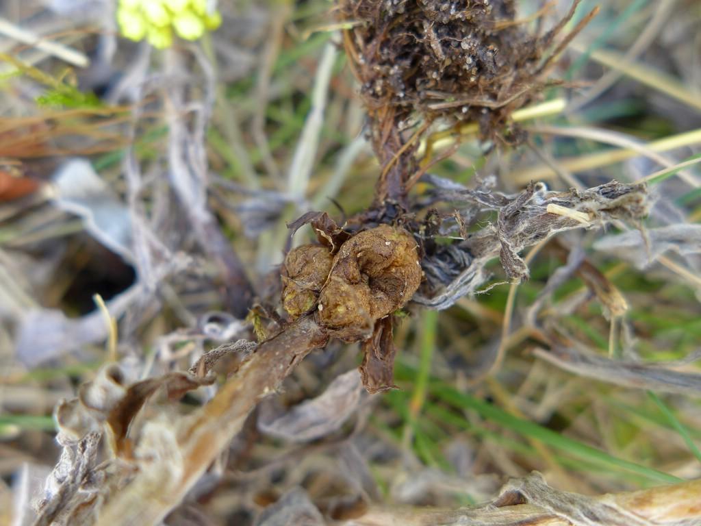 Entyloma magnusii_Helichrysum arenarium_JKruse (4)