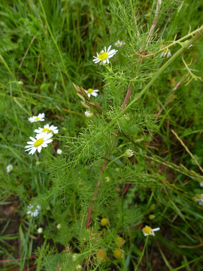 Entyloma matricariae_Tripleurospermum perforatum_JKruse (1)