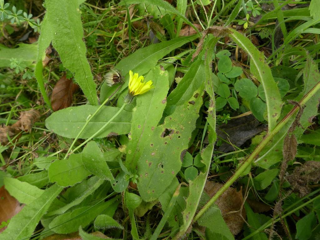 Entyloma picridis_Picris hieracoides_JKruse (1)