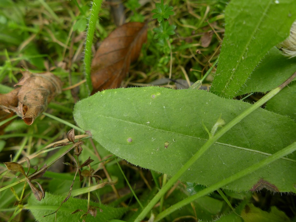 Entyloma picridis_Picris hieracoides_JKruse (2)