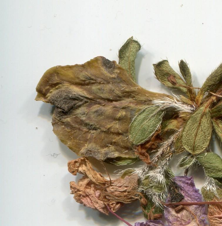 Exobasidium japonicum_Rhododendron kiusianum_JKruse (2)