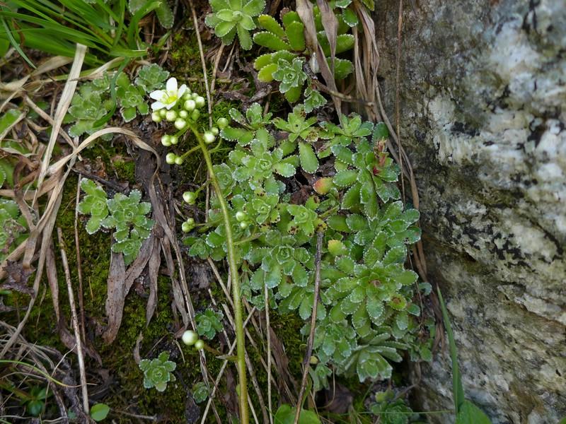 Puccinia huteri_Saxifraga paniculata_JKruse (1)