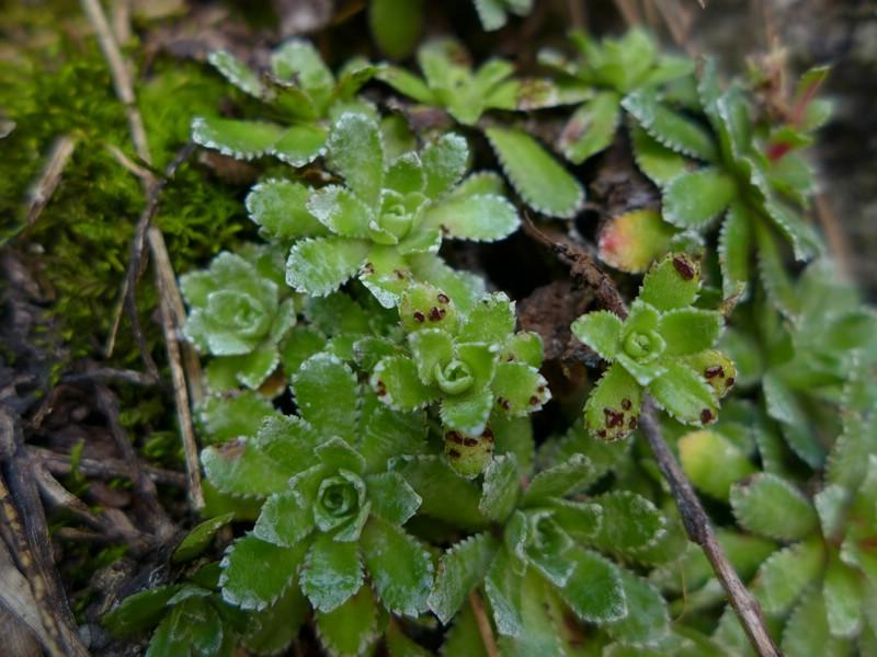 Puccinia huteri_Saxifraga paniculata_JKruse (3)