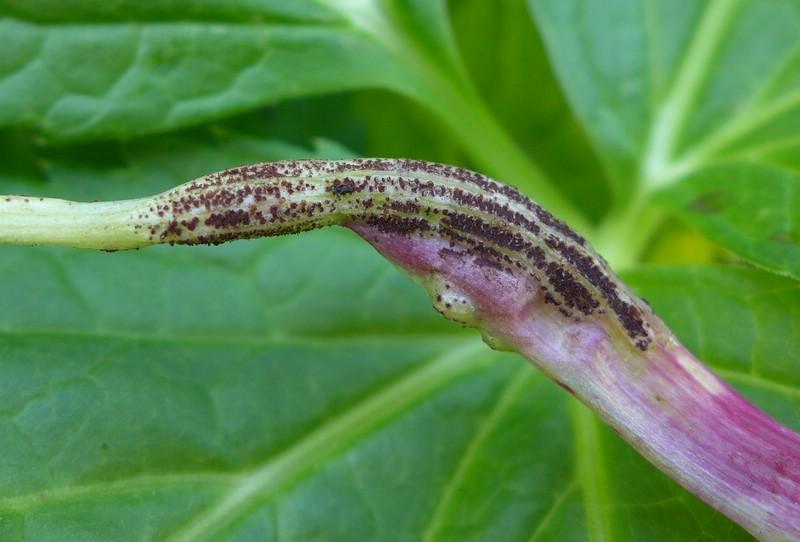 Puccinia imperatoriae_Peucedanum ostruthium (4)