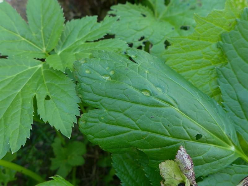 Puccinia imperatoriae_Peucedanum ostruthium (7)