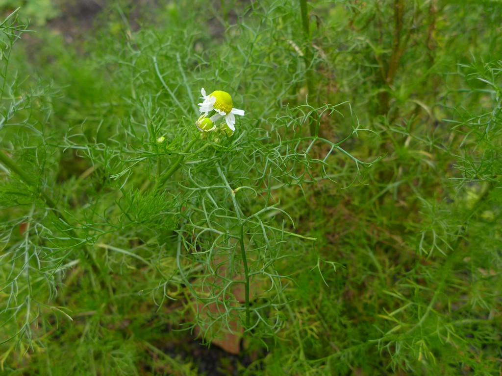 Puccinia matricariae_Matricaria recutita_JKruse (1)