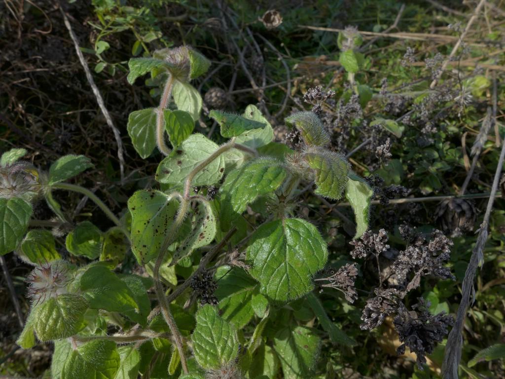 Puccinia menthae_Clinopodium vulgare_JKruse (1)