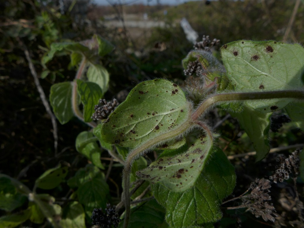 Puccinia menthae_Clinopodium vulgare_JKruse (2)
