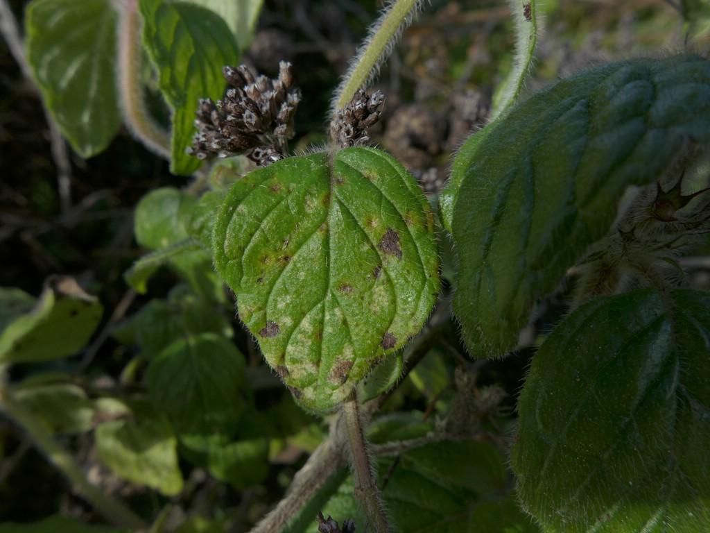 Puccinia menthae_Clinopodium vulgare_JKruse (3)