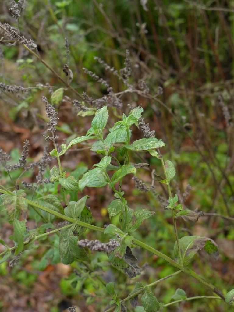 Puccinia menthae_Mentha longifolia_JKruse (3)