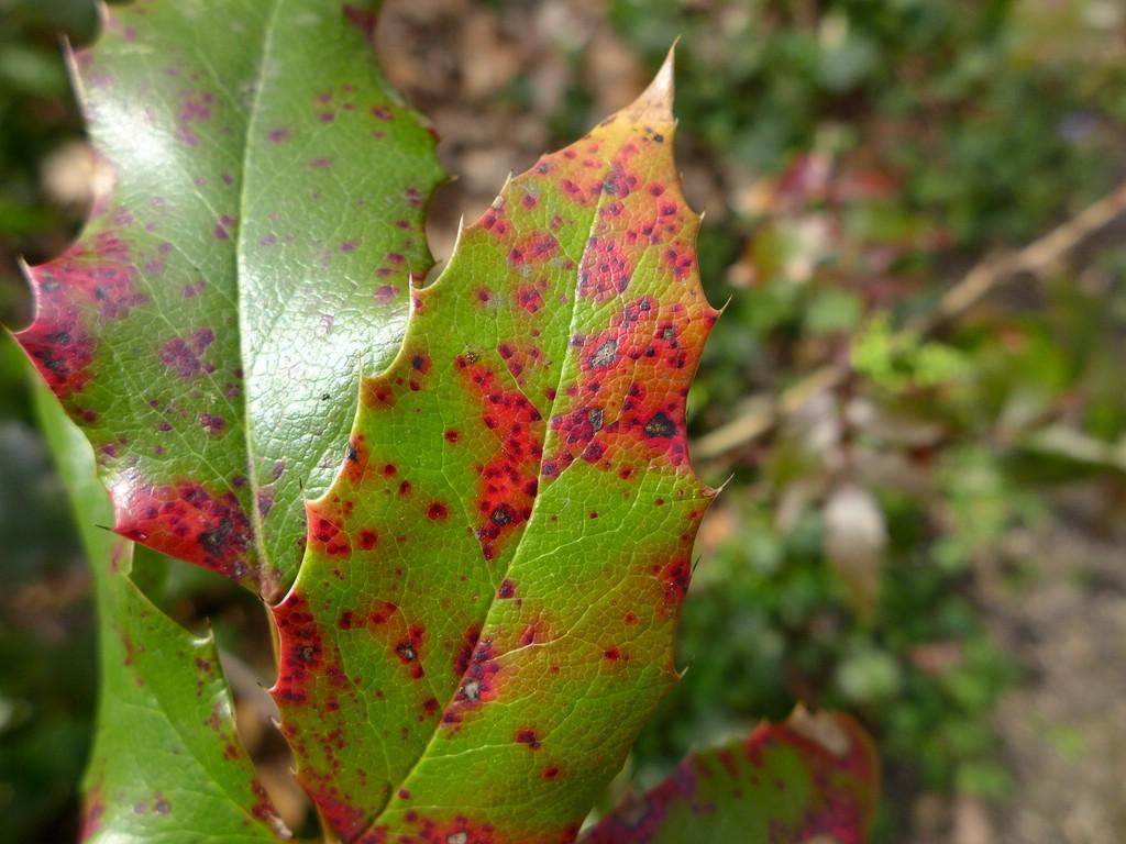 Puccinia mirabilissima_Mahonia aquifolium_JKruse (2)