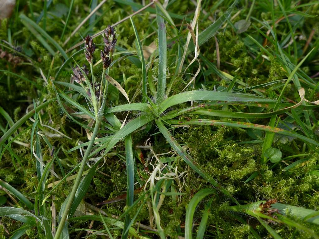 Puccinia obscura_Luzula campestris_JKruse (1)