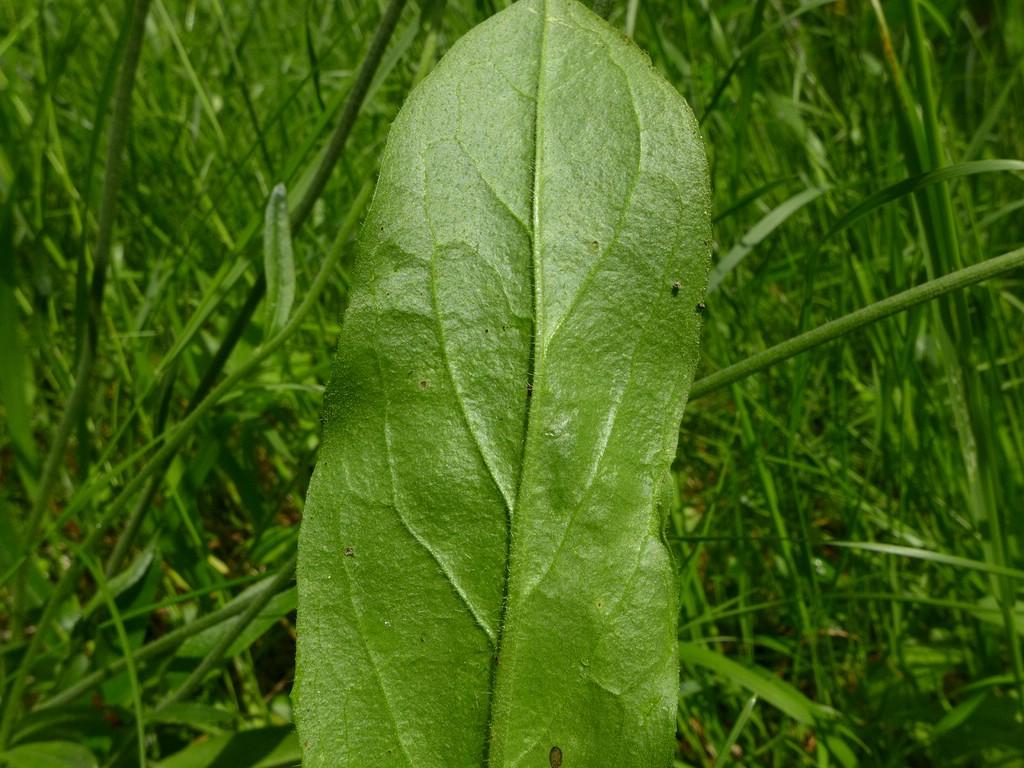 puccinia-piloselloidearum_pilosella-cymosa_jkruse-3