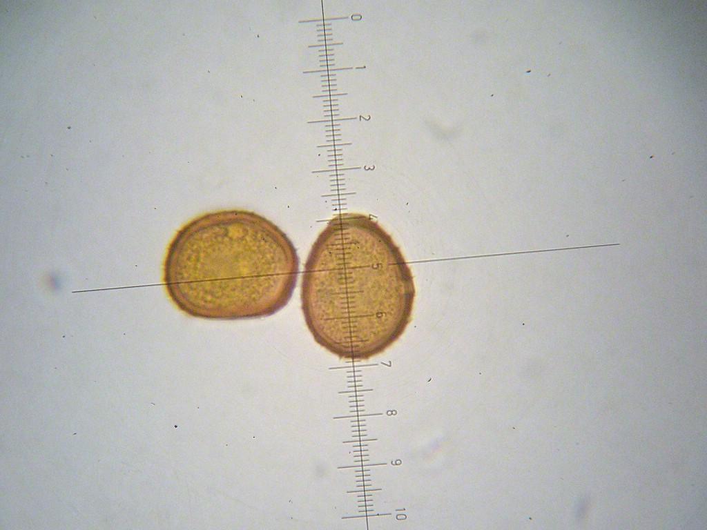 Puccinia praecox