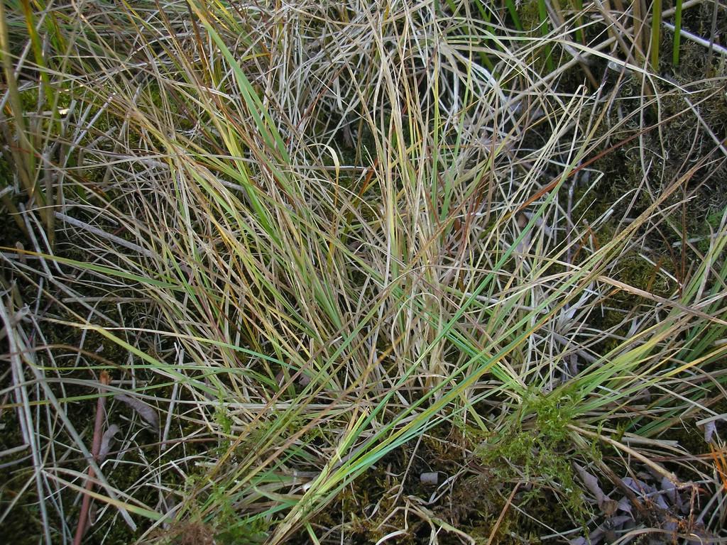 Puccinia-pringsheimiana_Carex-nigra